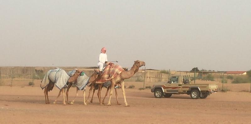 Camel spotting in lehbab desert dubai camel spotting in dubai altavistaventures Choice Image